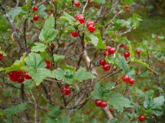 Смородина альпийская Шмидт <br>Порічка альпійська Шмідт <br>Ribes alpinum Schmidt