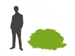 Магонія Apollo соотношение высоты взрослого растения к человеческому росту