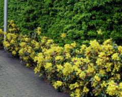 Mahonia aquifolium Apollo в качестве бордюра