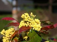 Магонія Апполо цветение