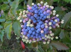 Mahonia Apollo ягоды