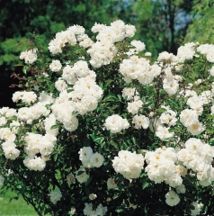 Роза полиантовая Вайт Фейри <br>Троянда поліантова Вайт Фейрі <br>Rosa polyantha White Fairy