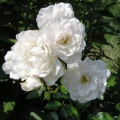 Rosa White Fairy цветы