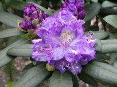 Рододендрон Блю Тіт Мажор цветок