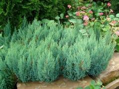 Можжевельник горизонтальный Блю Форест <br>Ялівець горизонтальний Блю Форест <br>Juniperus horizontalis Blue Forest