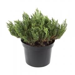 Juniperus Blue Forest