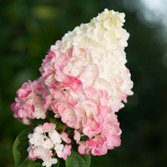 Hydrangea paniculata Sundae Fraise (Rensun) ®