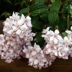 Дейция гибридная Mont Rose цветение