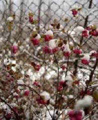 Снежноягодник Магик Берри зимой