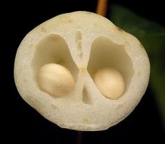 Снежноягодник Мазер оф Перл плоды