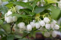 Голубика Блюкроп цветы