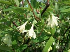 Жимолость камчатская цветение