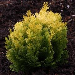 Chamaecyparis lawsoniana Roger's Gold посадка