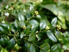 Самшит вечнозелёный шар на штамбе листья