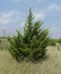 Juniperus Сanaertii