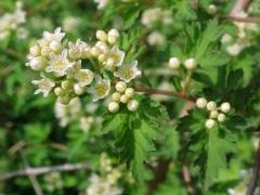 Стефанандра надрезаннолистная Incisa Crispa цветы