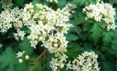 Стефанандра Криспа цветение