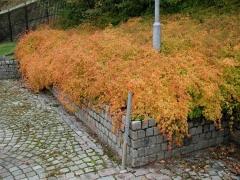 Стефанандра Кріспа восени