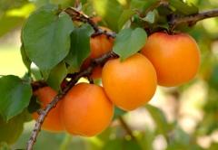 Абрикос Киевский Ранний <br>Абрикос Київський Ранній <br>Prunus armeniaca Kiev Еarly