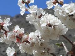Абрикос Київський Ранній цвітіння