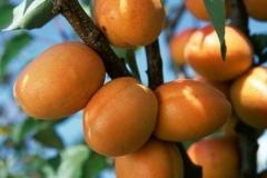 Apricot Kiev Еarly