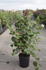 Hazelnut tree Webb's
