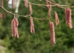 Цветение Corylus avellana Warsaw red
