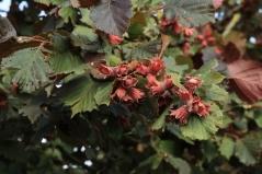 Hazelnut tree Warsaw red