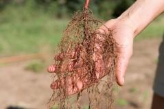 Фундук звичайний Cosford з голим коренем