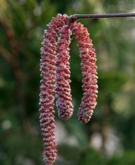Цветение Лещины Род Зеллернут