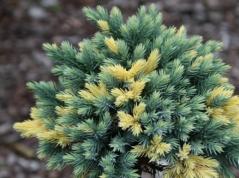 Juniperus squamata Floreant