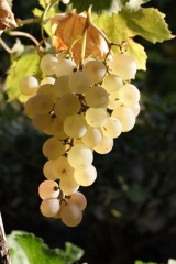 Виноград плодовый Йоханнитер