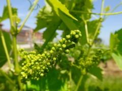 Виноград Йоханнитер (ранний, плодовый)