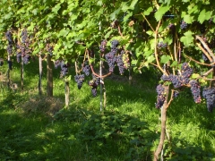 Виноград Регент (поздний, плодовый)