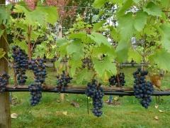 Vitis vinifera Regent (later, fruit)