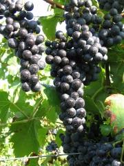 Grapes wine Regent (later, fruit)