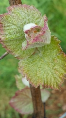 Виноград винный Регент