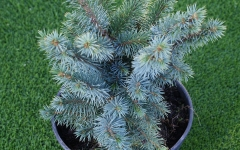 Picea sitchensis Midget
