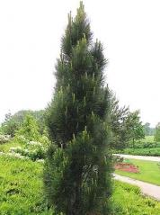 Сосна черная / австрийская Грин Рокет <br>Pinus nigra / austriaca Green Rocket <br>Сосна чорна / австрійська Грін Рокет