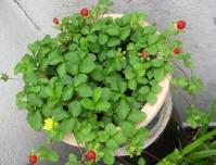 Дюшенея индийская <br>Duchesnea indica <br>Дюшенея індійська