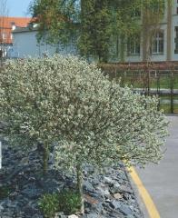 Ива швейцарская (шар на штамбе) <br>Верба швейцарська (куля на штамбі) <br>Salix helvetica (ball on shtamb)