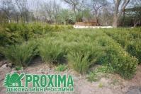 Можжевельник виргинский <br>Ялівець віргінський <br>Juniperus virginiana
