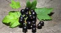 Смородина чёрная Софиевская (средне-поздняя) <br>Смородина чорна Софіївська (середньо-пізня) <br> Ribes nigrum Sofievska