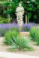 Юкка нитчатая <br>Юкка нитчата <br>Yucca filamentosa