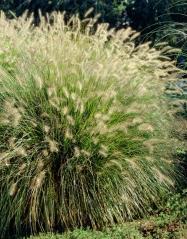Пеннисетум лисохвостый <br>Pennisetum alopecuroides <br>Пеннісетум лисохвостий