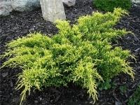 Можжевевельник средний Кинг оф Спринг <br>Ялівець середній Кінг оф Спрінг <br>Juniperus pfitzeriana King of Spring