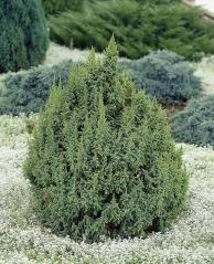 Можжевевельник чешуйчатый Лодери <br>Ялівець лускатий Лодері <br>Juniperus squamata Loderi