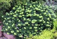 Пихта бальзамическая Пикколо <br>Ялиця бальзамічна Пікколо <br>Abies balsamea Piccolo