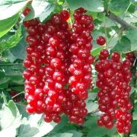 Смородина красная Джонкер Ван Тетс (ранняя) <br>Смородина червона Джонкер Ван Тетс (рання) <br>Ribes rubrum Jonkheer Van Tets