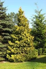 Кипарисовик нутканский Ауреа <br>Кипарисовик нутканський Ауреа <br>Chamaecyparis nootkatensis Aurea